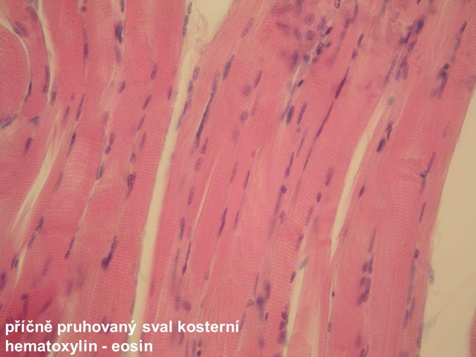 příčně pruhovaný sval kosterní hematoxylin - eosin