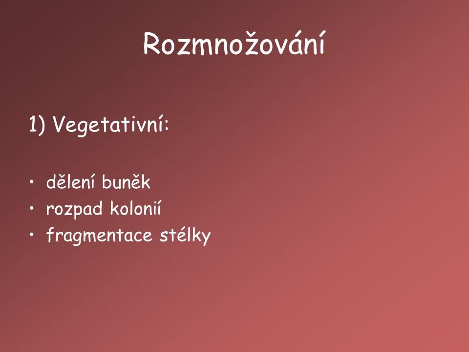 Rozmnožování 1) Vegetativní: dělení buněk rozpad kolonií
