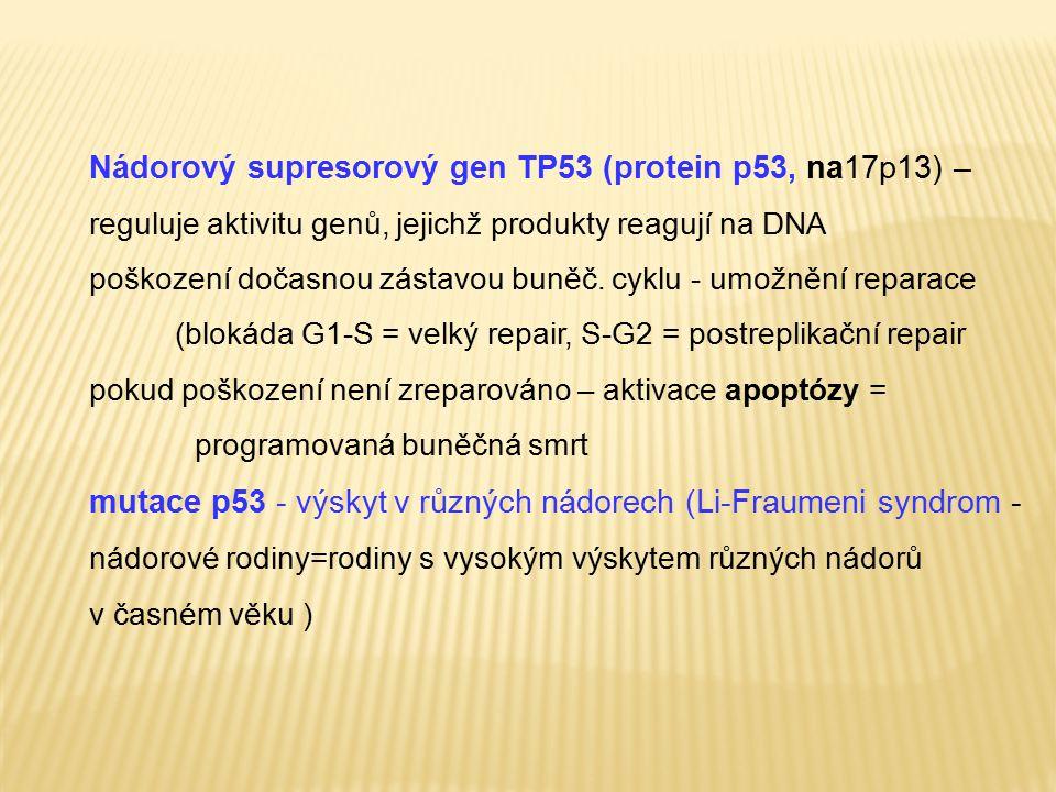 Nádorový supresorový gen TP53 (protein p53, na17p13) – reguluje aktivitu genů, jejichž produkty reagují na DNA