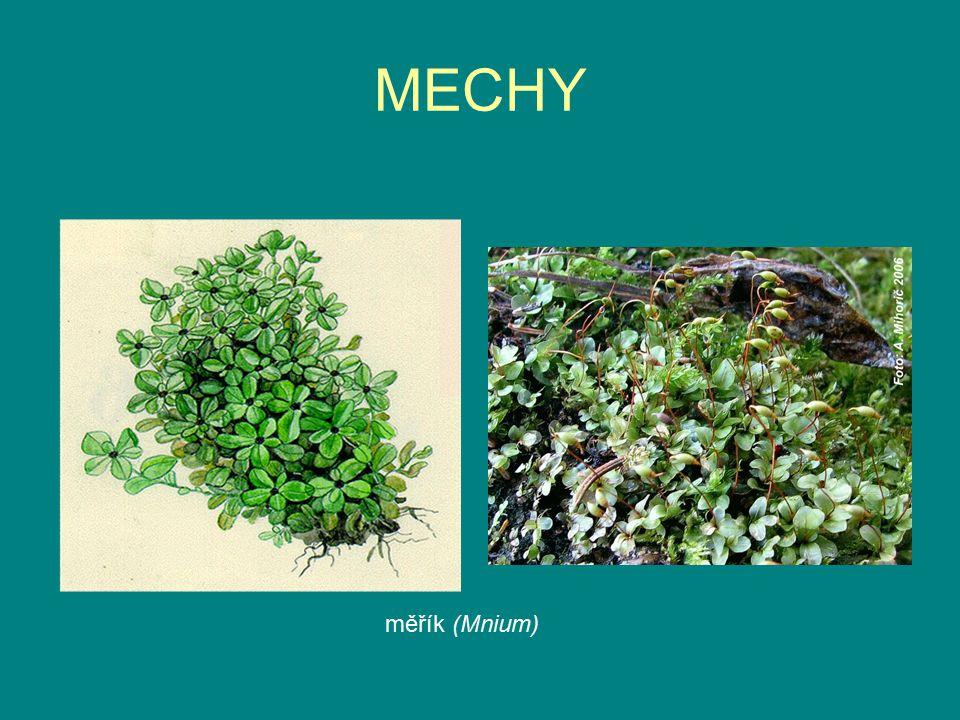 MECHY měřík (Mnium)
