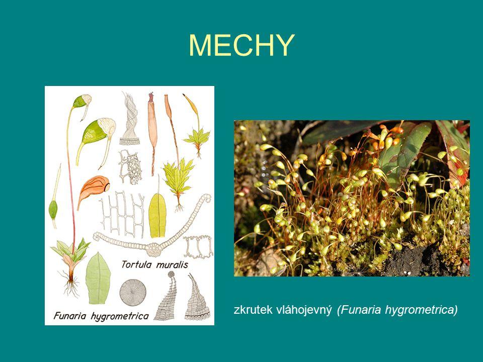 MECHY zkrutek vláhojevný (Funaria hygrometrica)