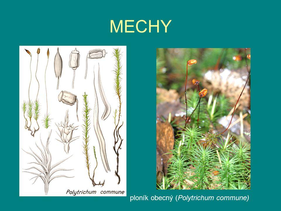 MECHY ploník obecný (Polytrichum commune)
