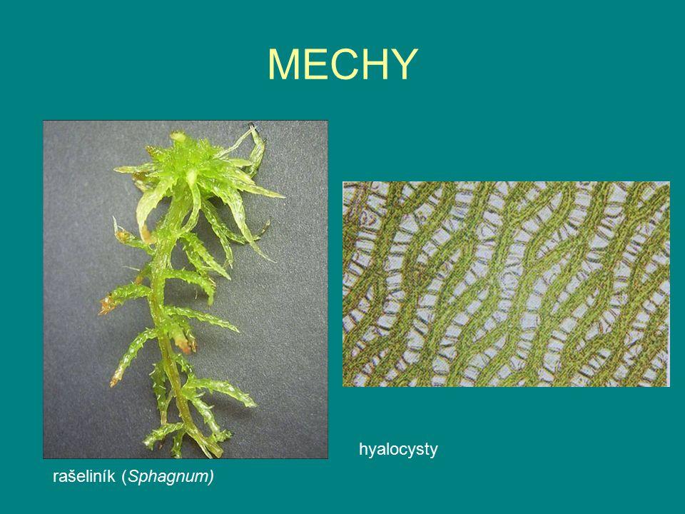 MECHY hyalocysty rašeliník (Sphagnum)