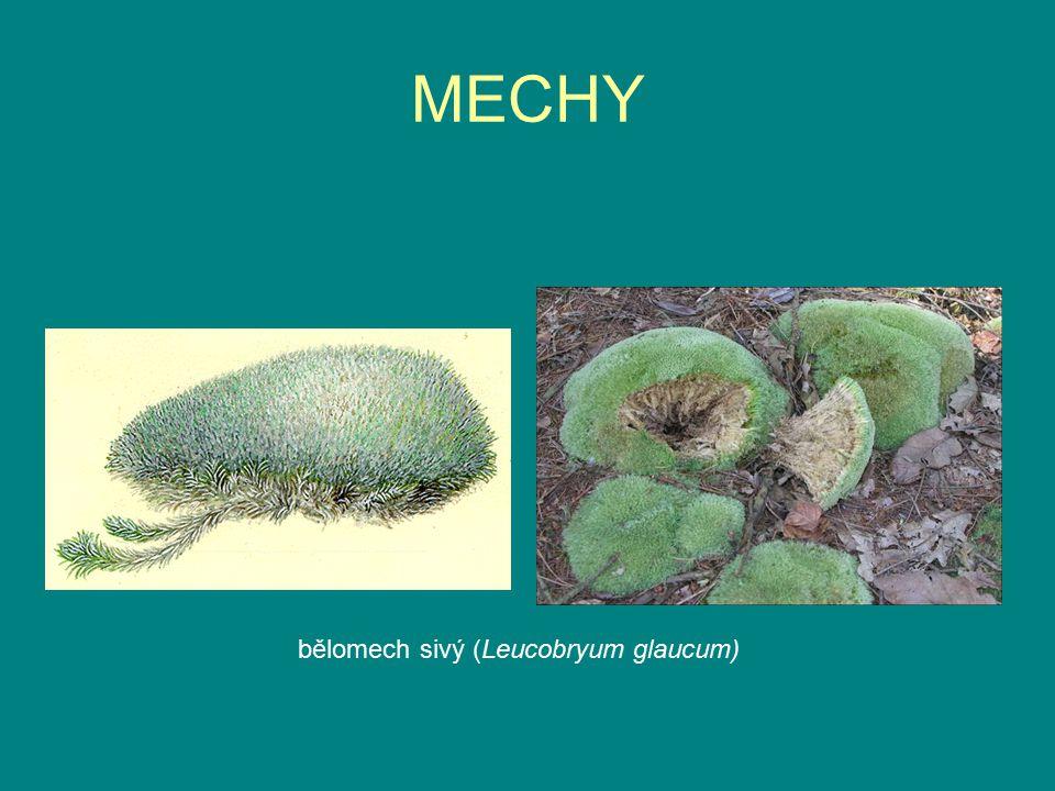 MECHY bělomech sivý (Leucobryum glaucum)