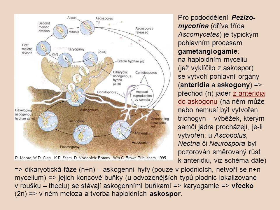 Pro pododdělení Pezizo-mycotina (dříve třída Ascomycetes) je typickým pohlavním procesem gametangiogamie: na haploidním myceliu (jež vyklíčilo z askospor) se vytvoří pohlavní orgány (anteridia a askogony) => přechod (n) jader z anteridia do askogonu (na něm může nebo nemusí být vytvořen trichogyn – výběžek, kterým samčí jádra procházejí, je-li vytvořen; u Ascobolus, Nectria či Neurospora byl pozorován směrovaný růst k anteridiu, viz schéma dále)