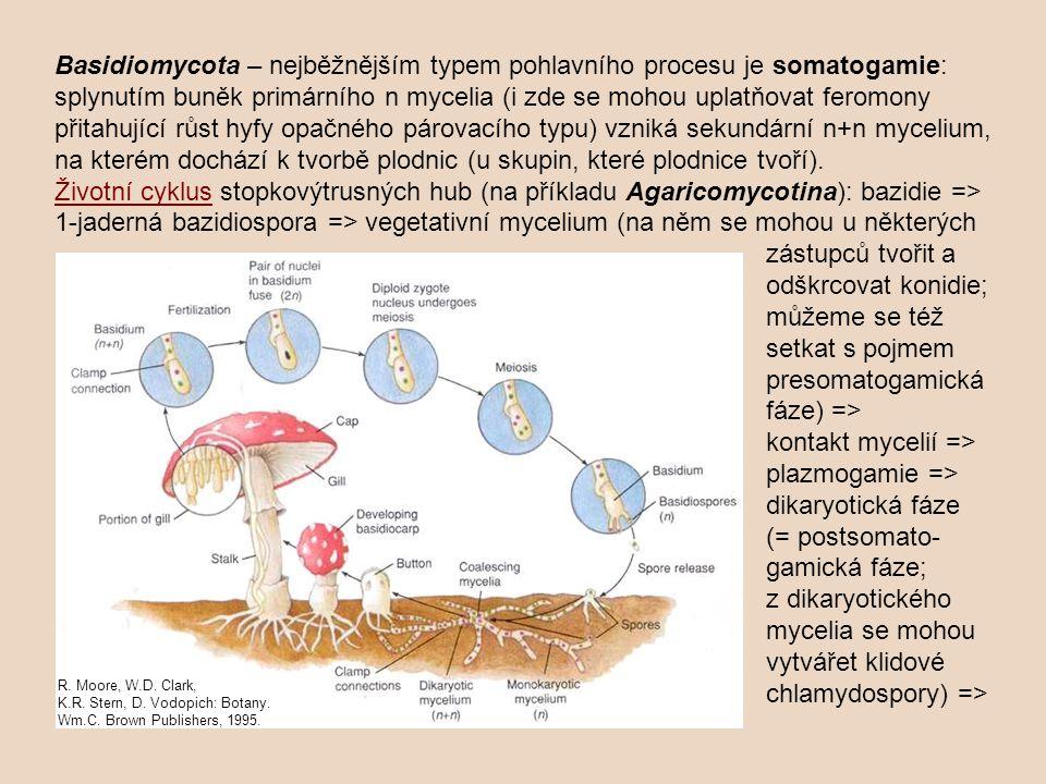 Basidiomycota – nejběžnějším typem pohlavního procesu je somatogamie: splynutím buněk primárního n mycelia (i zde se mohou uplatňovat feromony přitahující růst hyfy opačného párovacího typu) vzniká sekundární n+n mycelium, na kterém dochází k tvorbě plodnic (u skupin, které plodnice tvoří). Životní cyklus stopkovýtrusných hub (na příkladu Agaricomycotina): bazidie => 1-jaderná bazidiospora => vegetativní mycelium (na něm se mohou u některých