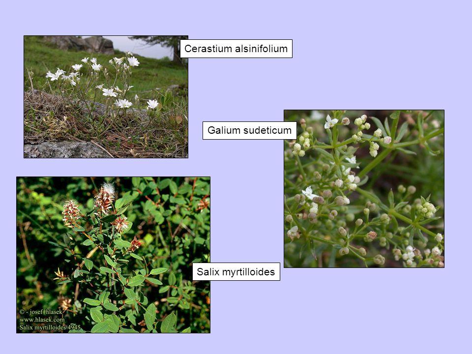 Cerastium alsinifolium