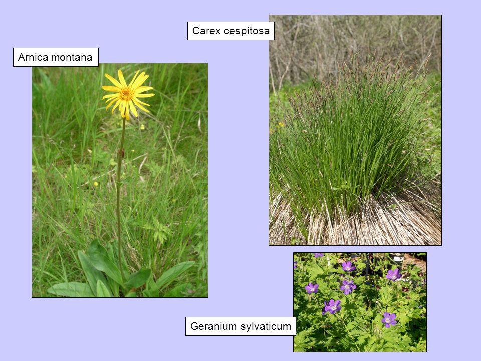 Carex cespitosa Arnica montana Geranium sylvaticum