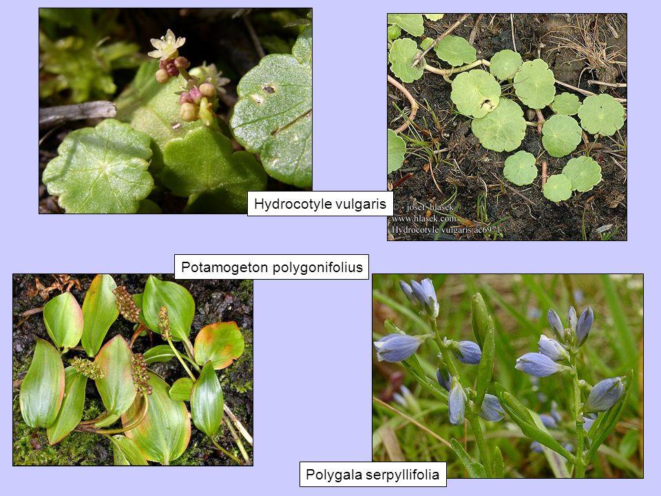 Hydrocotyle vulgaris Potamogeton polygonifolius Polygala serpyllifolia