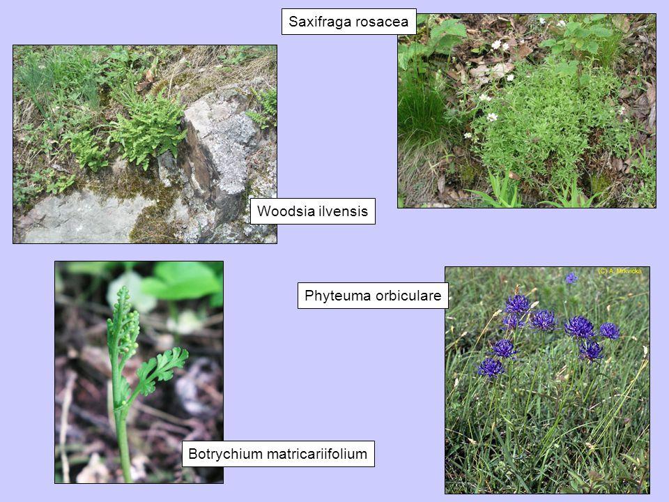 Saxifraga rosacea Woodsia ilvensis Phyteuma orbiculare Botrychium matricariifolium
