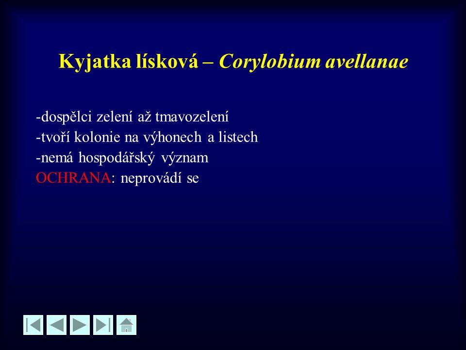 Kyjatka lísková – Corylobium avellanae