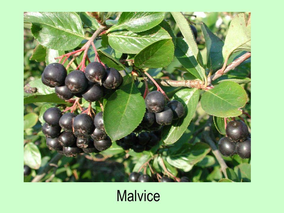 Malvice