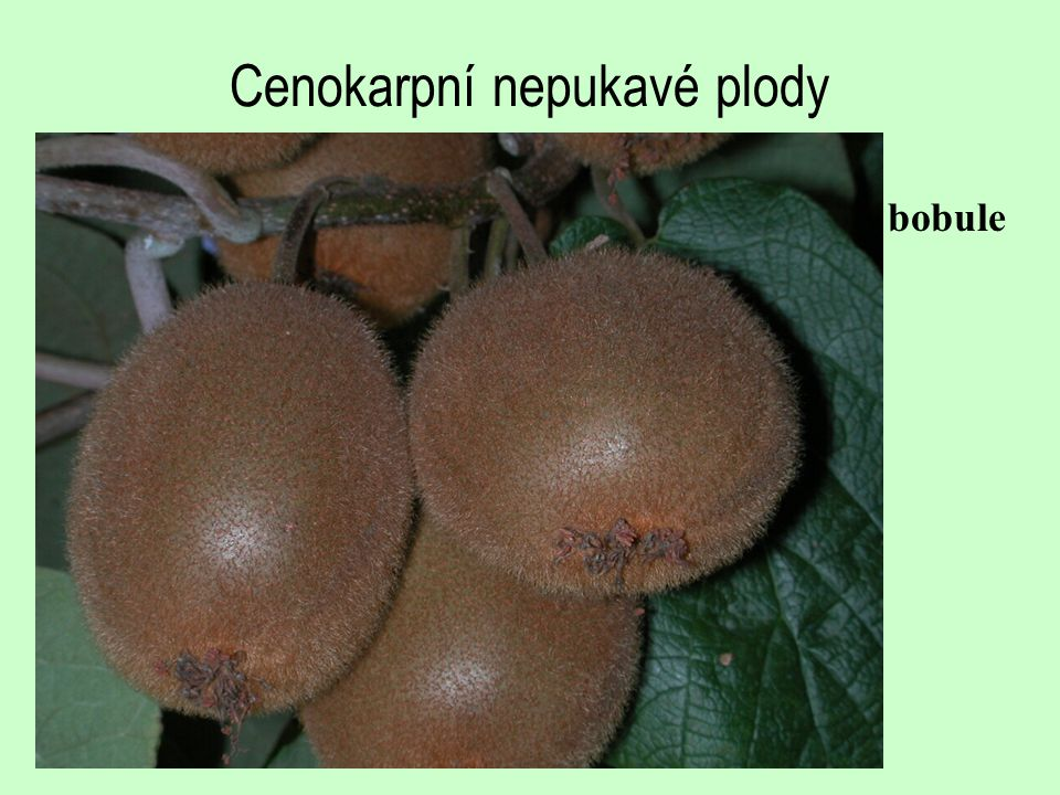 Cenokarpní nepukavé plody
