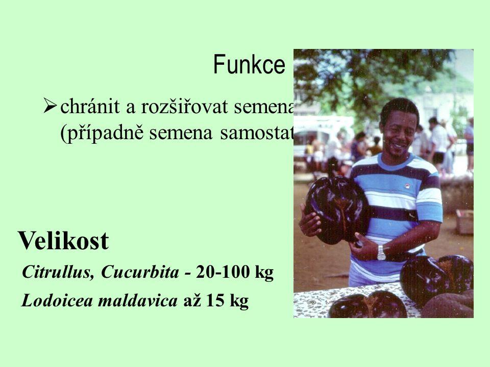 Funkce chránit a rozšiřovat semena (případně semena samostatně) Velikost. Citrullus, Cucurbita - 20-100 kg.