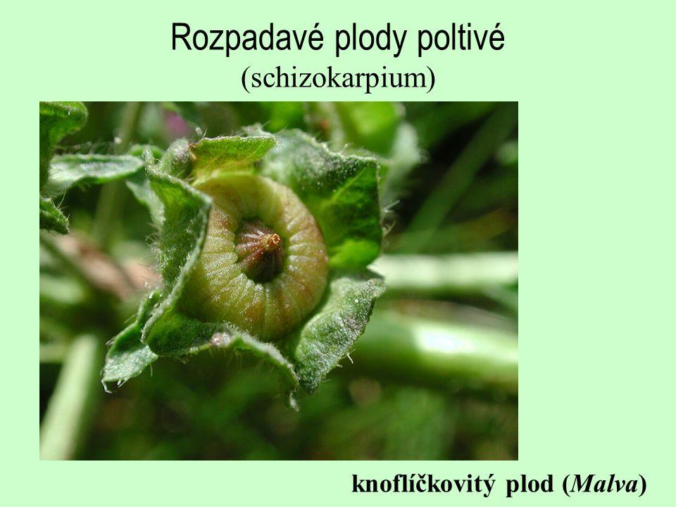 Rozpadavé plody poltivé (schizokarpium)