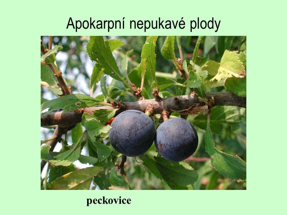 Apokarpní nepukavé plody
