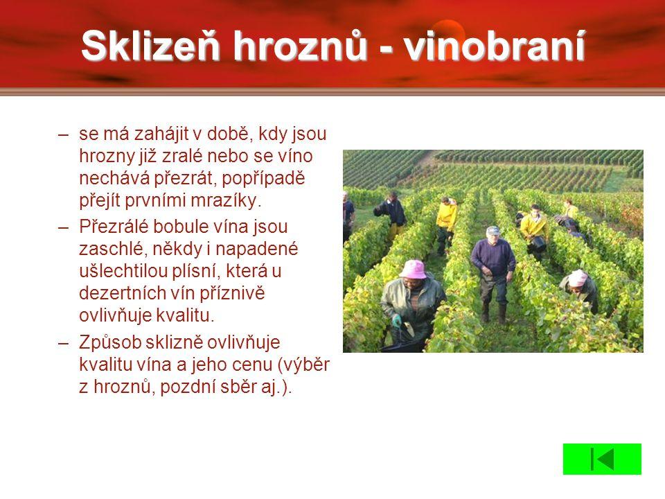 Sklizeň hroznů - vinobraní