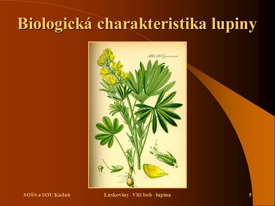 Biologická charakteristika lupiny Luskoviny - Vlčí bob - lupina
