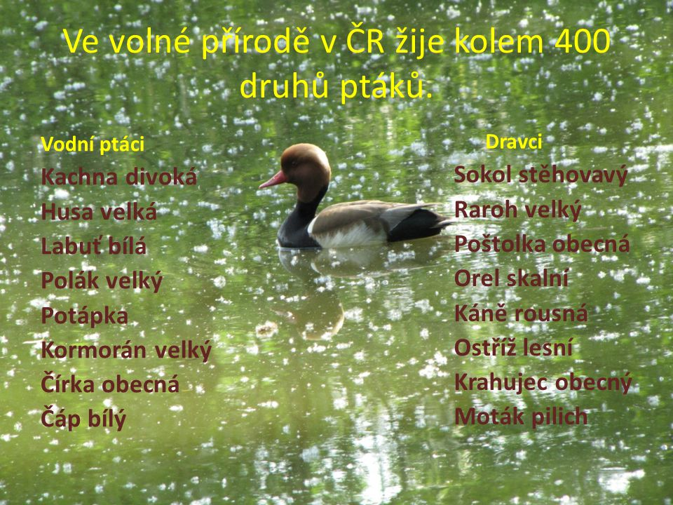Ve volné přírodě v ČR žije kolem 400 druhů ptáků.