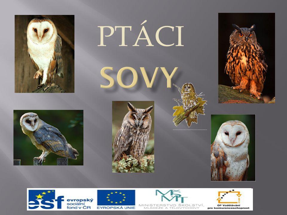 PTÁCI Sovy