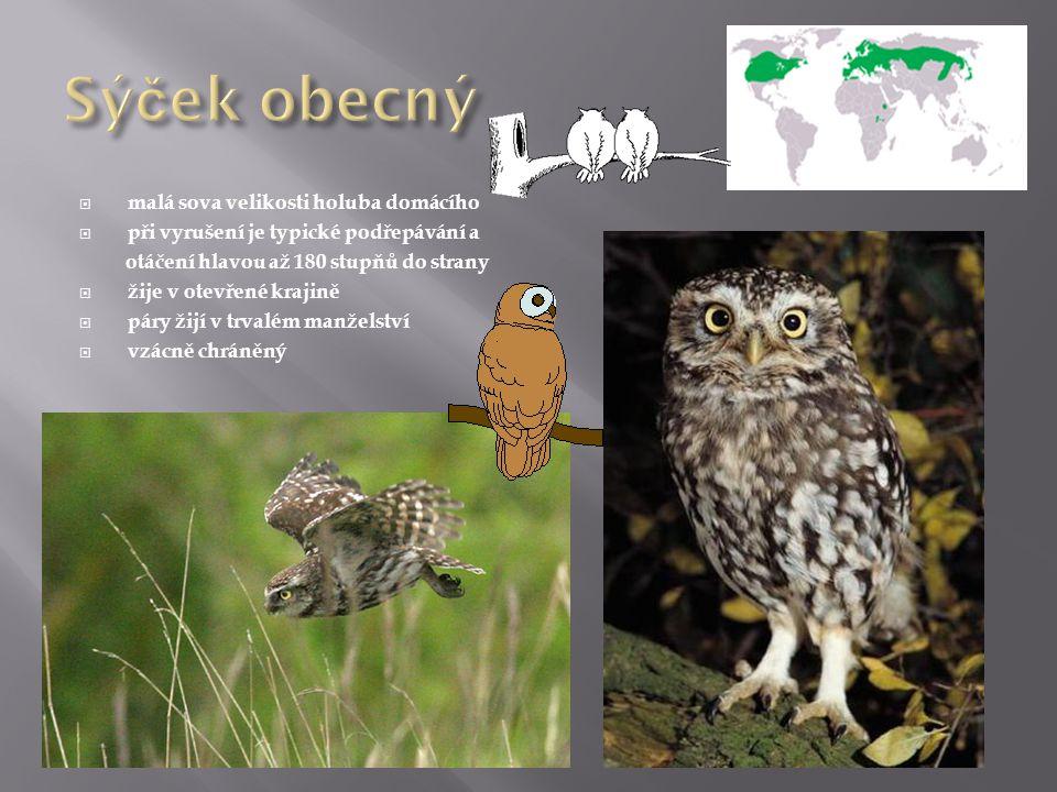 Sýček obecný malá sova velikosti holuba domácího