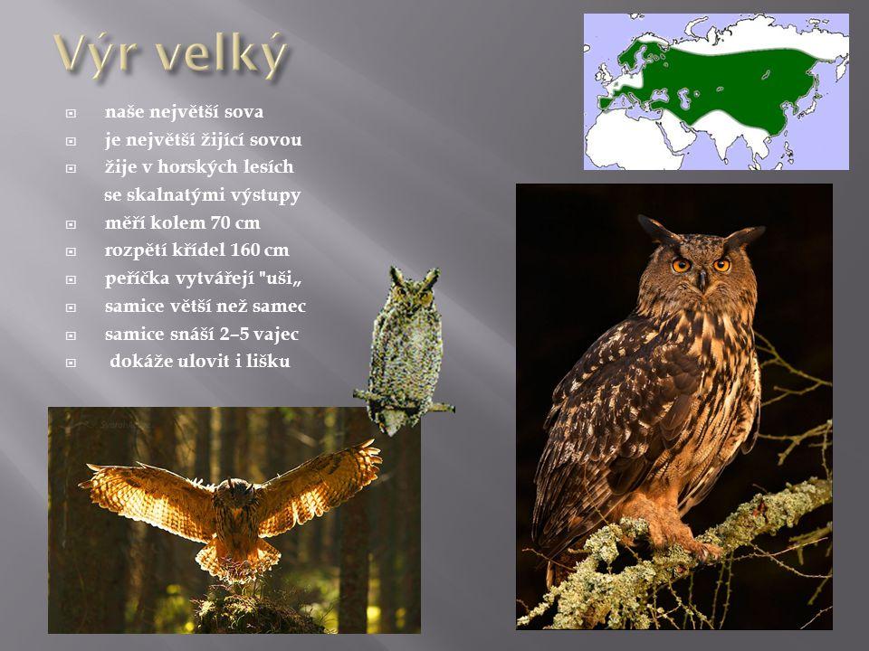 Výr velký naše největší sova je největší žijící sovou