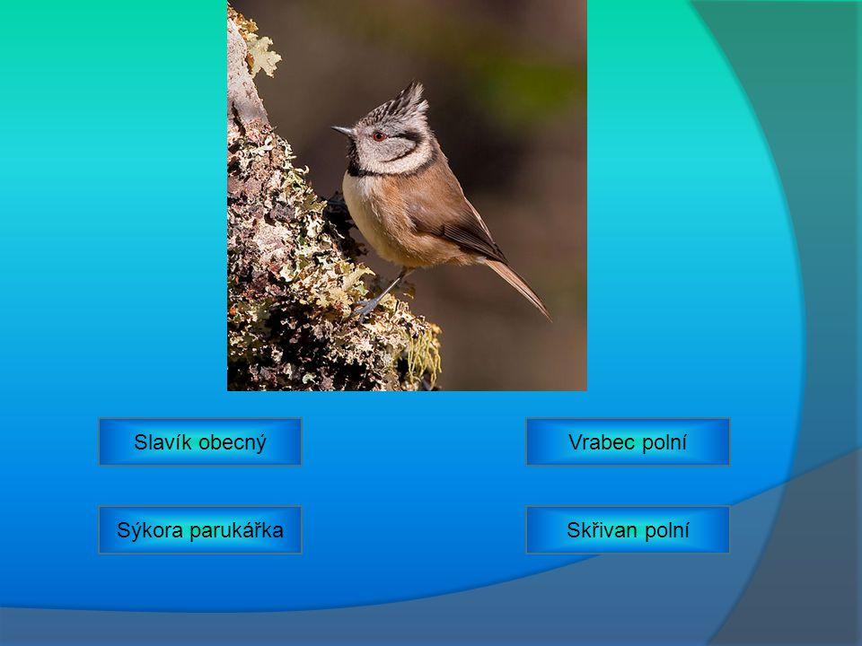 Slavík obecný Vrabec polní Sýkora parukářka Skřivan polní