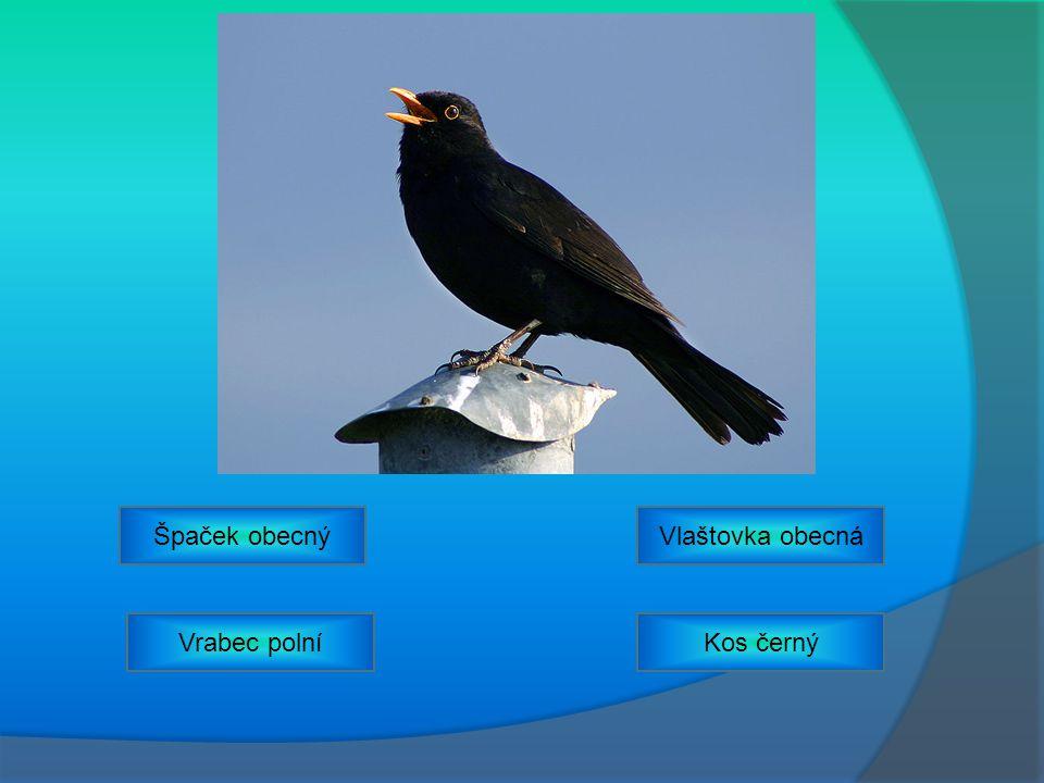 Špaček obecný Vlaštovka obecná Vrabec polní Kos černý
