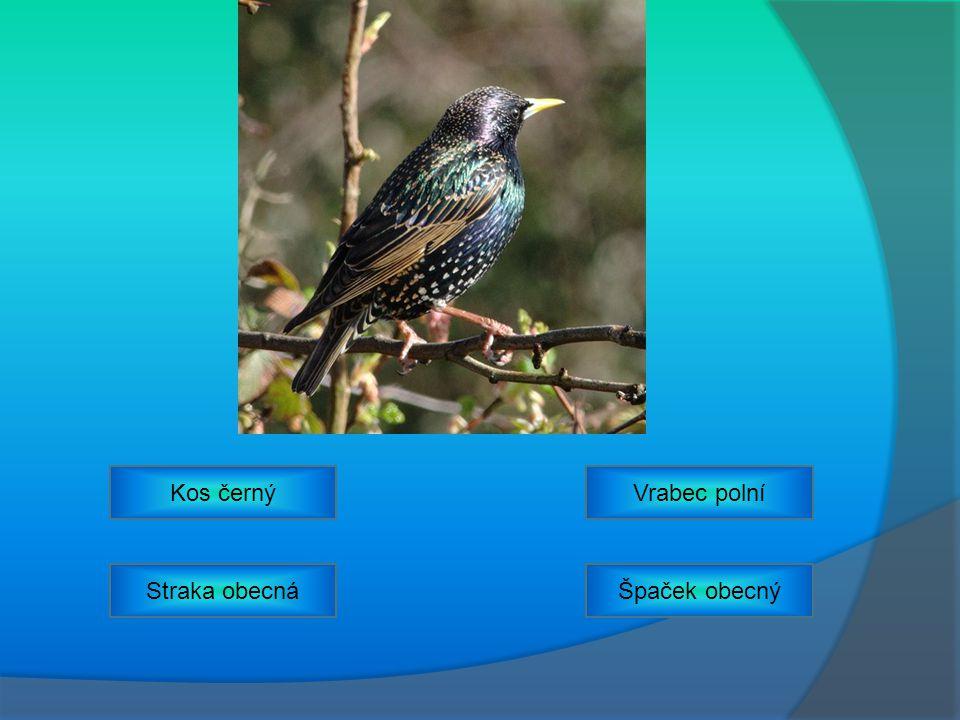 Kos černý Vrabec polní Straka obecná Špaček obecný