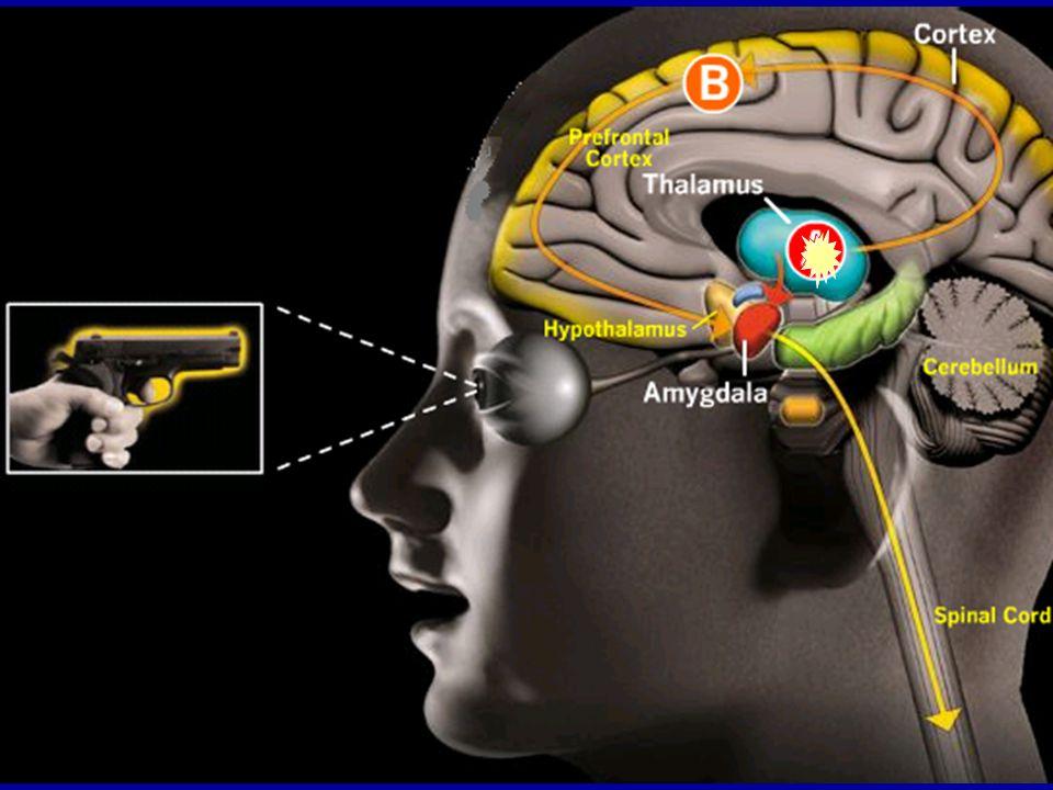 Když smysly zachytí hrozbu (ránu, výhrůžný pohled, hrůzný vjem), informace se mozkem šíří dvěma různými cestami.