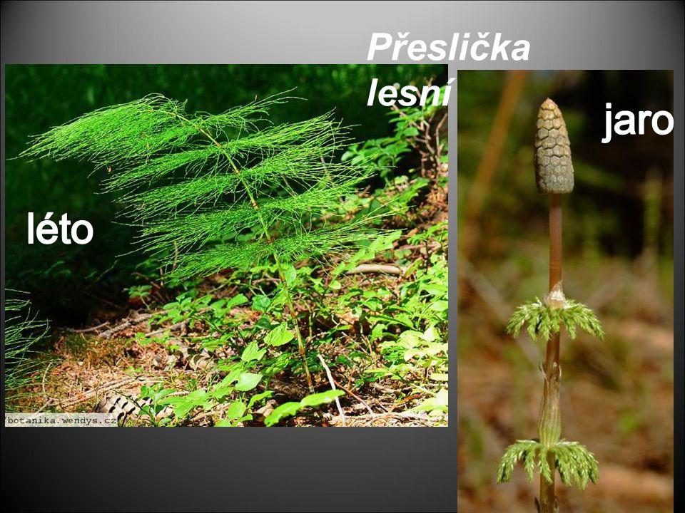 Přeslička lesní jaro léto