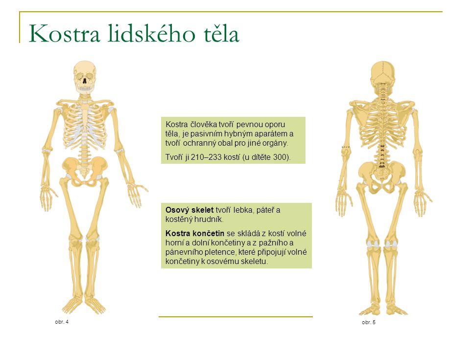 Kostra lidského těla obr. 5. obr. 4. Kostra člověka tvoří pevnou oporu těla, je pasivním hybným aparátem a tvoří ochranný obal pro jiné orgány.