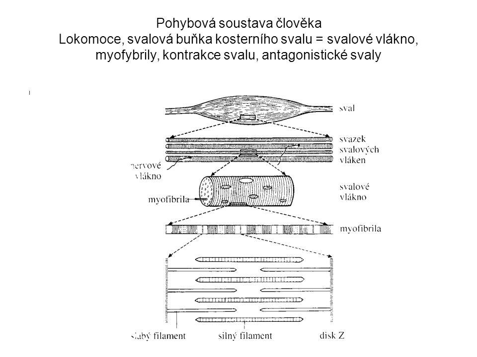 Pohybová soustava člověka Lokomoce, svalová buňka kosterního svalu = svalové vlákno, myofybrily, kontrakce svalu, antagonistické svaly