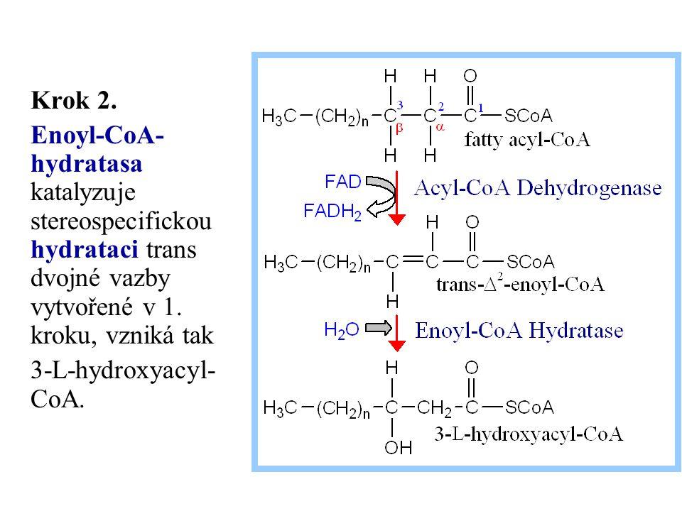 Krok 2. Enoyl-CoA- hydratasa katalyzuje stereospecifickou hydrataci trans dvojné vazby vytvořené v 1. kroku, vzniká tak.