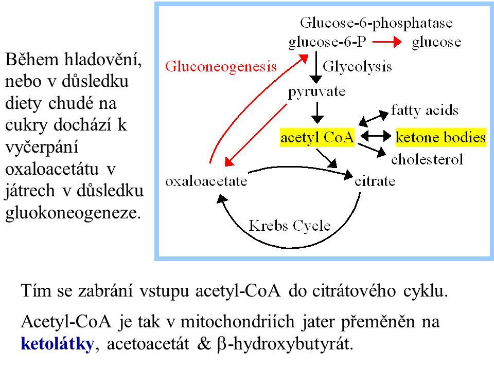 Během hladovění, nebo v důsledku diety chudé na cukry dochází k vyčerpání oxaloacetátu v játrech v důsledku gluokoneogeneze.