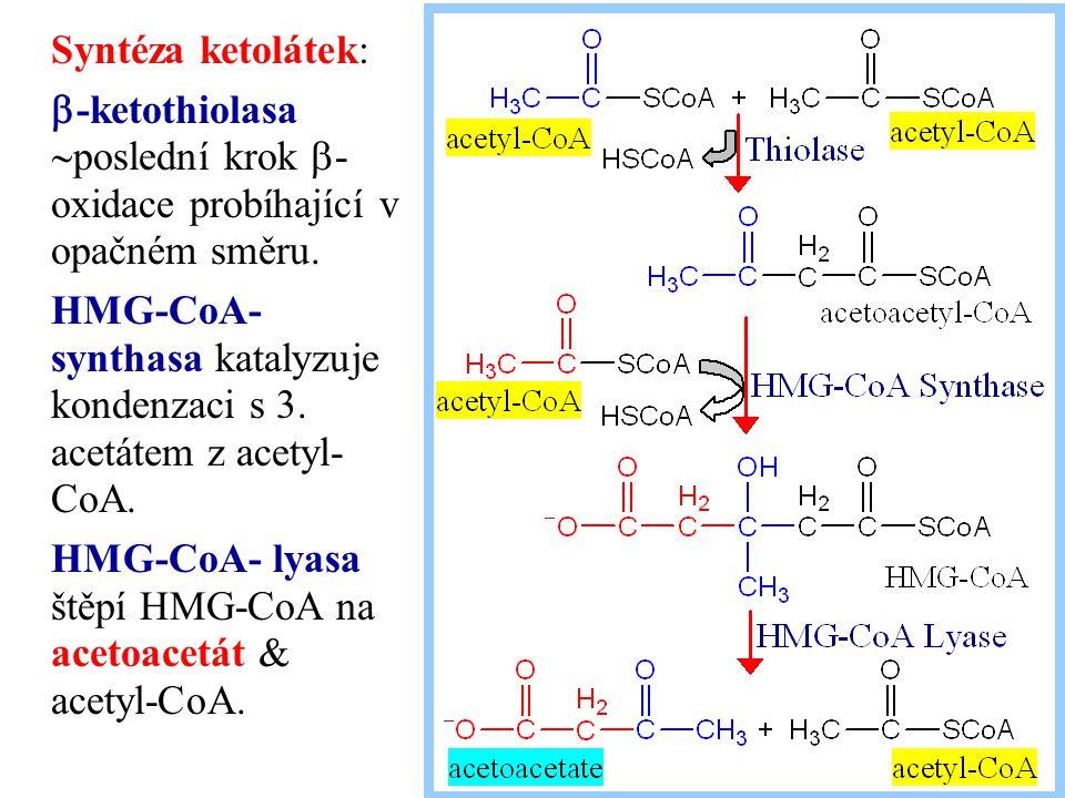 Syntéza ketolátek: b-ketothiolasa poslední krok b-oxidace probíhající v opačném směru.
