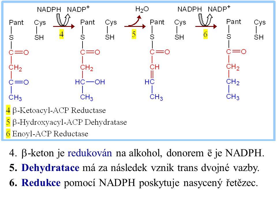 b-keton je redukován na alkohol, donorem ē je NADPH.
