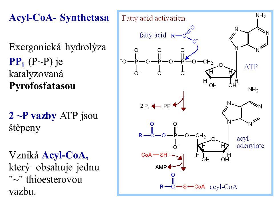 Acyl-CoA- Synthetasa Exergonická hydrolýza. PPi (P~P) je katalyzovaná Pyrofosfatasou. 2 ~P vazby ATP jsou štěpeny.