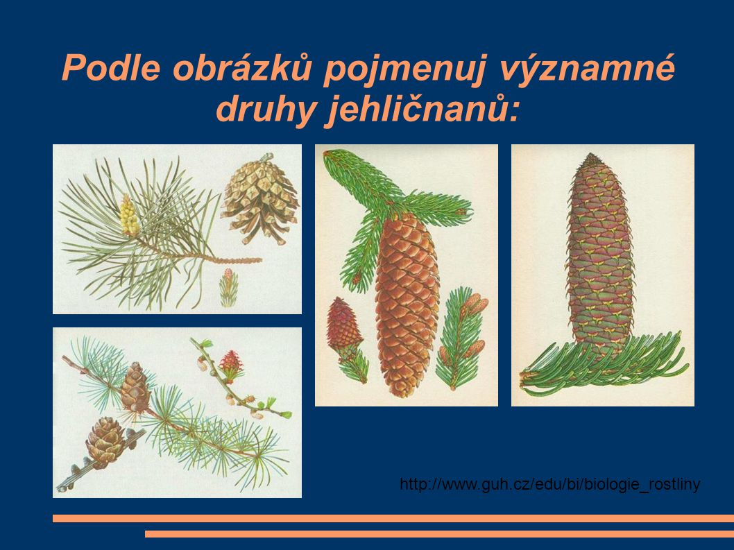 Podle obrázků pojmenuj významné druhy jehličnanů: