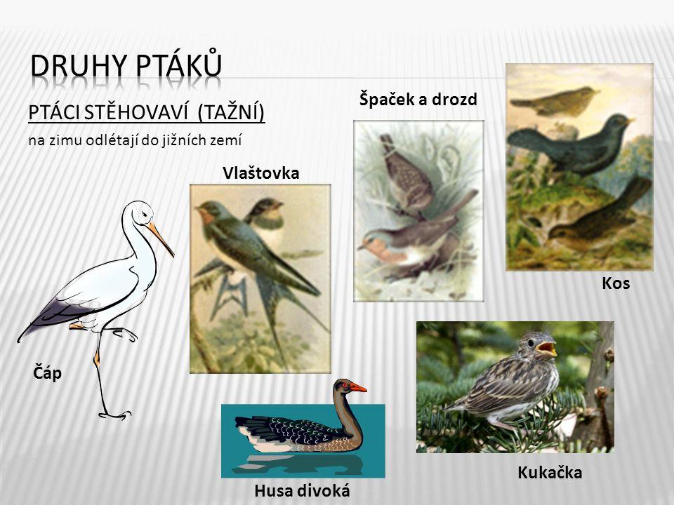 Druhy ptáků PTÁCI STĚHOVAVÍ (TAŽNÍ) Špaček a drozd Vlaštovka Kos Čáp