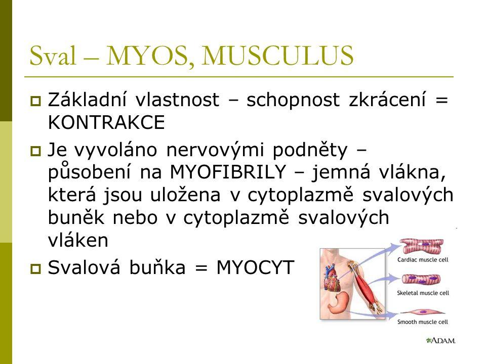 Sval – MYOS, MUSCULUS Základní vlastnost – schopnost zkrácení = KONTRAKCE.