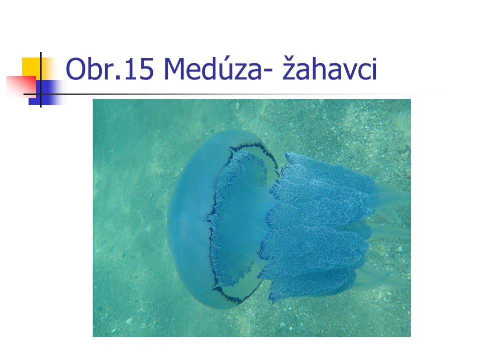 Obr.15 Medúza- žahavci