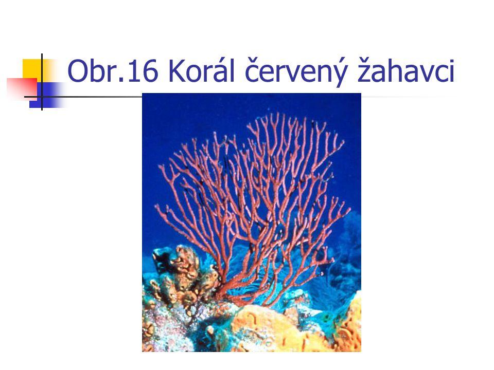 Obr.16 Korál červený žahavci