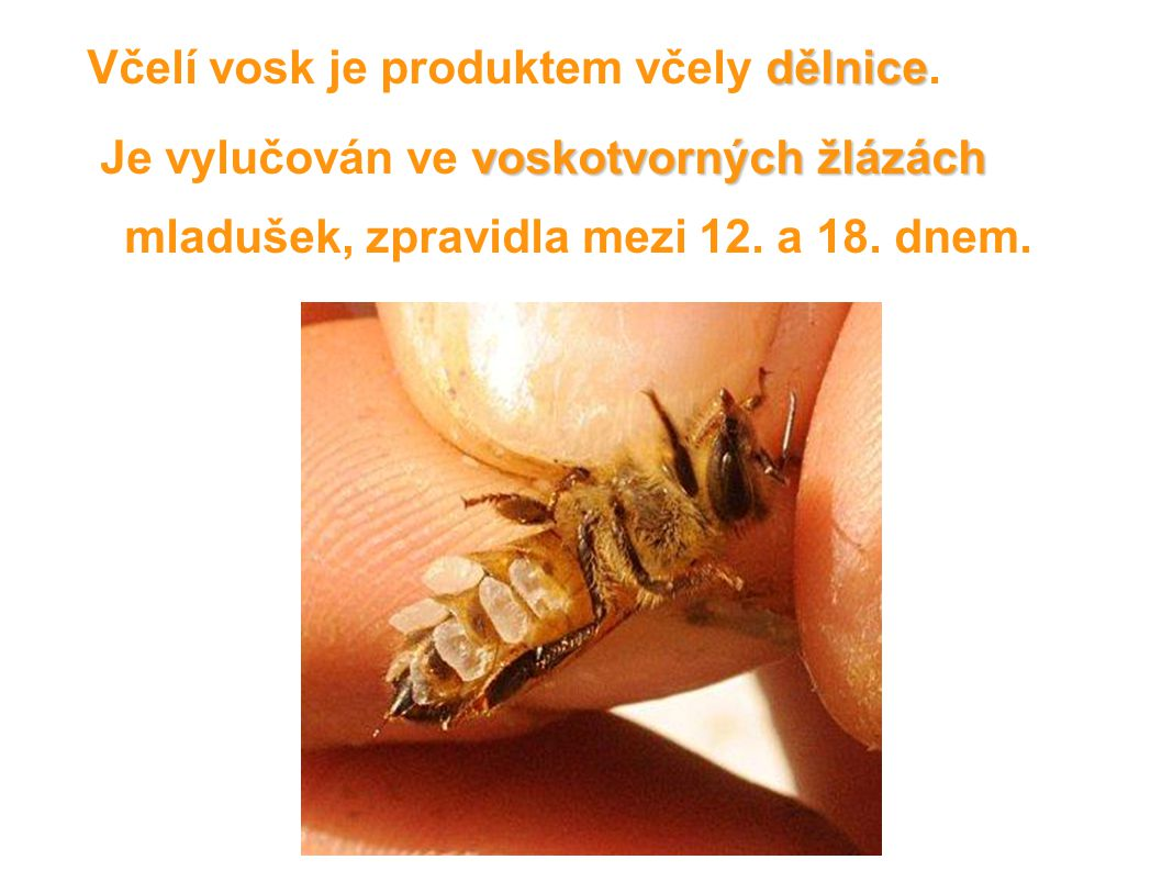 Včelí vosk je produktem včely dělnice.