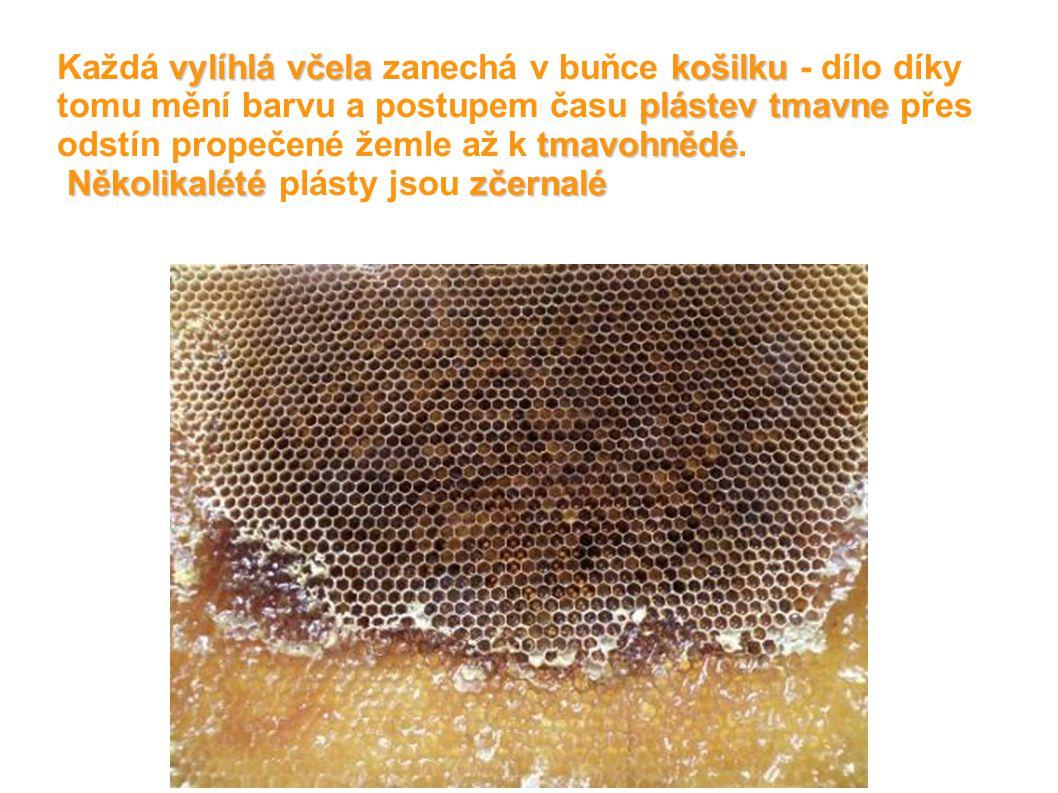 Každá vylíhlá včela zanechá v buňce košilku - dílo díky tomu mění barvu a postupem času plástev tmavne přes odstín propečené žemle až k tmavohnědé.