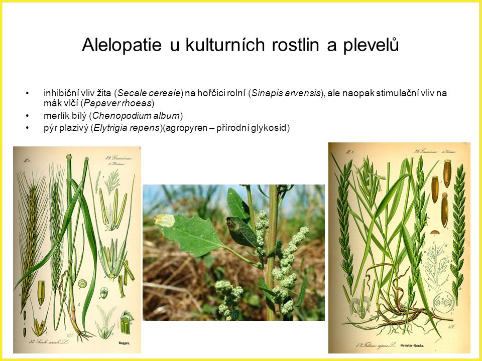 Alelopatie u kulturních rostlin a plevelů