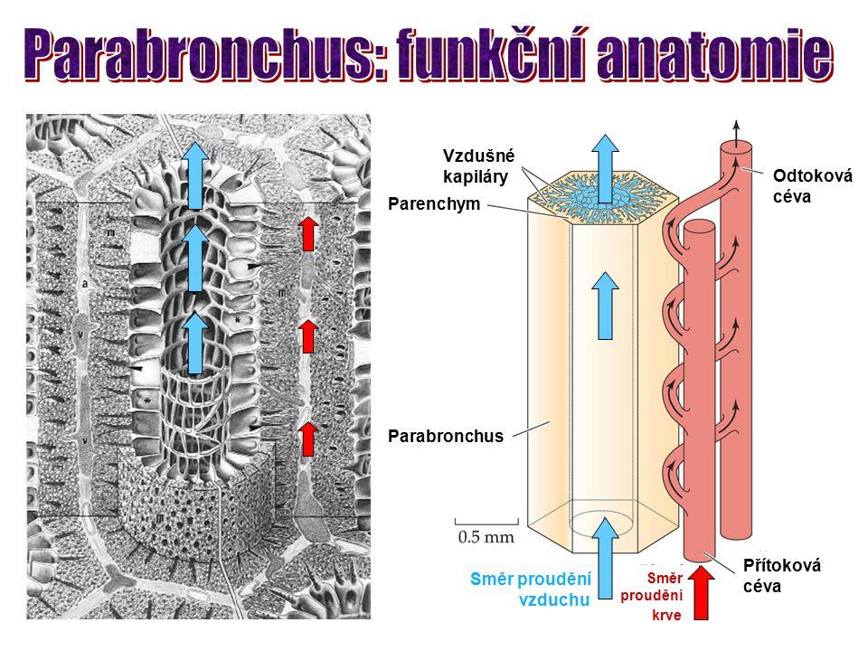 Parabronchus: funkční anatomie