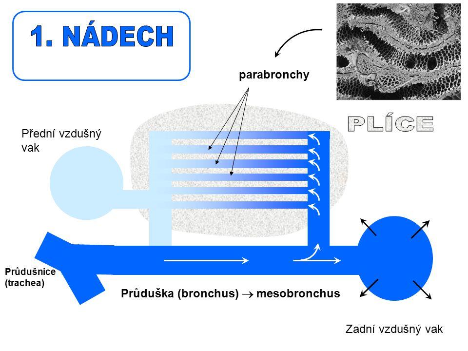 1. NÁDECH PLÍCE parabronchy Přední vzdušný vak