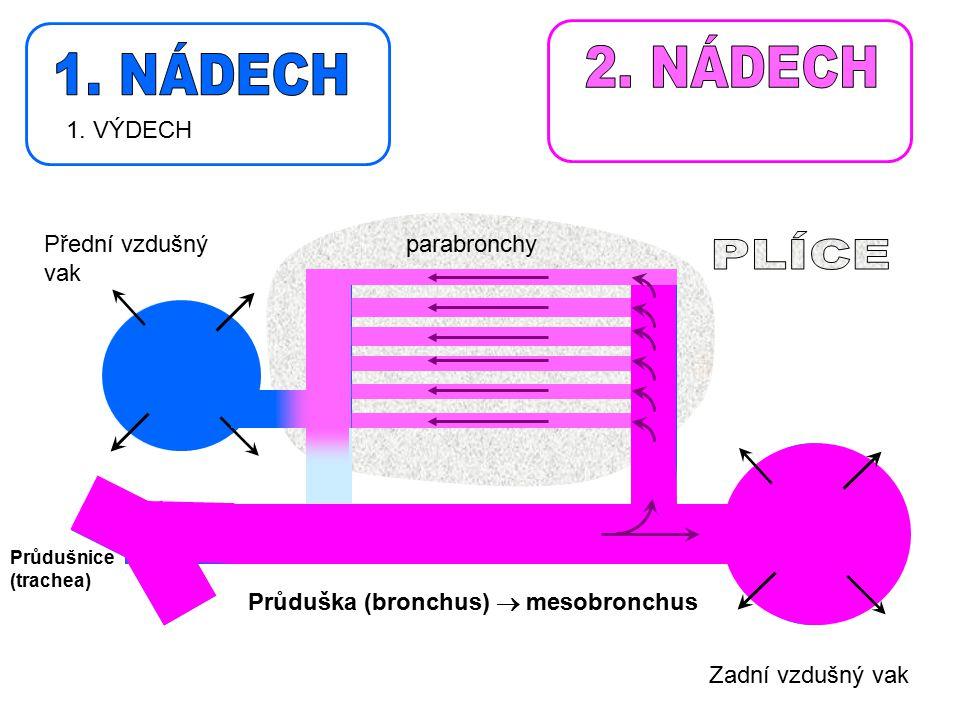 2. NÁDECH 1. NÁDECH PLÍCE 1. VÝDECH Přední vzdušný vak parabronchy