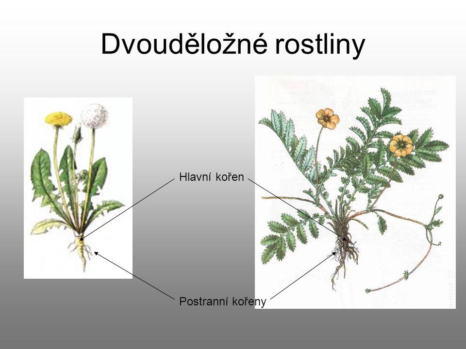 Dvouděložné rostliny Hlavní kořen Postranní kořeny